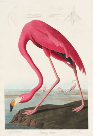 edit-pd17-431-rob-phoenicopterus-ruber-american-flamingo-id-277495-jpeg-300x438