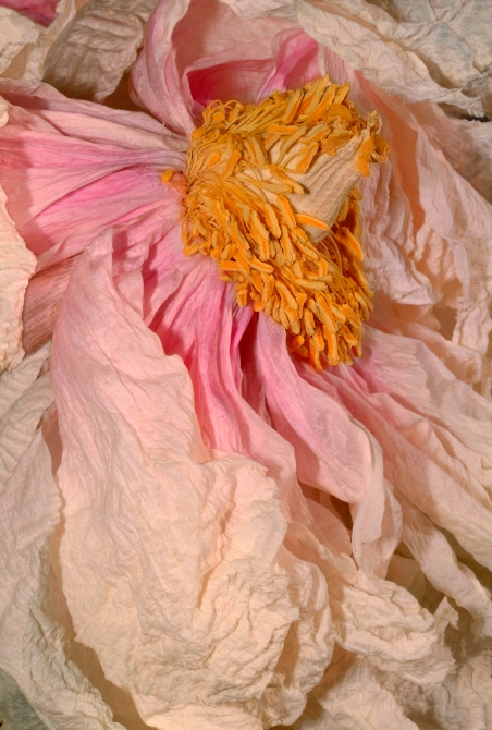 Blossom_Anna-Halm-Schudel_Cover_Pfingstrose-Blumenmeer[1]